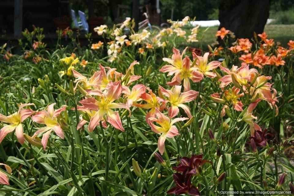 Dorsets N' Daylilies